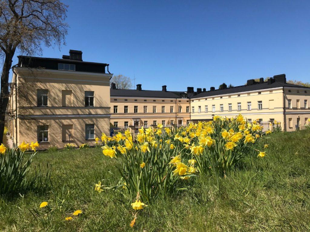 Keväinen kuva narsisseista Lapinlahden päärakennuksen edessä.